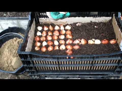 Посадка луковиц тюльпанов в
