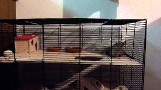 Mongolian Gerbils Part 2