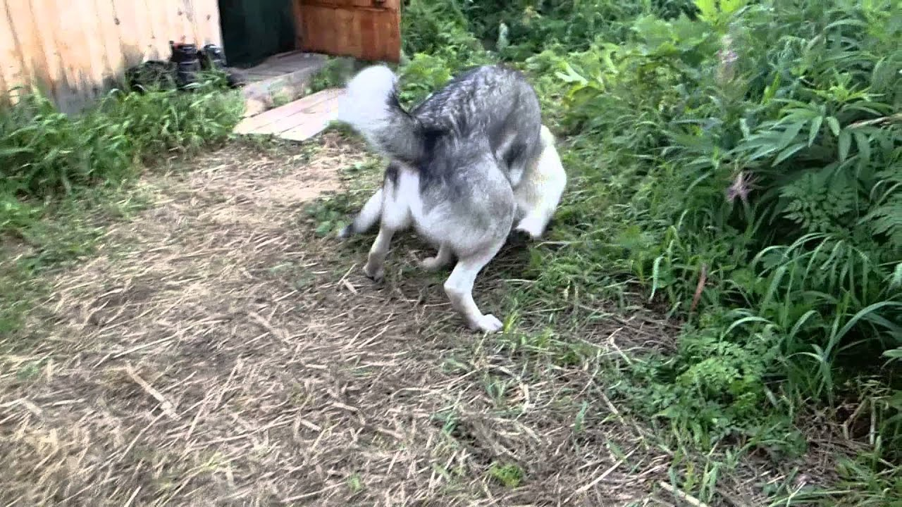 Bear Hunting Dog Puppy