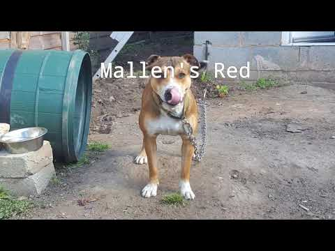 Mallen Kennels - The Real Staffordshire Bull Terrier