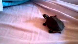 Como cuidar una tortuga charapa (cuidados basicos)