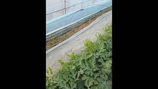 [한국게르마늄 농업방송] 1월18일정식한 게르마늄농법 …