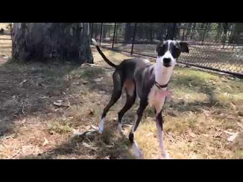 Italian Greyhound playing with other Iggies