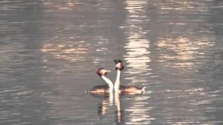 """Svassi in corteggiamento con """"danza degli specchi"""" (Lago di Caldonazzo, 3/3/2012)"""