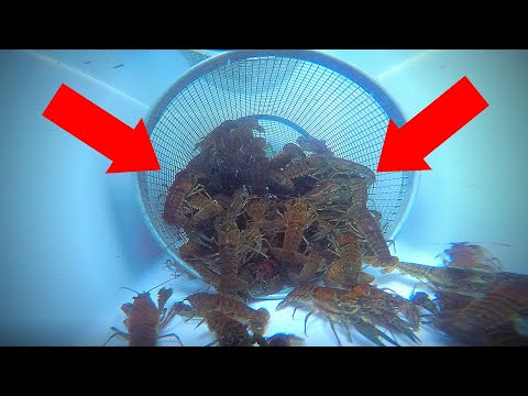 How To Catch Crawfish (UNDERWATER GoPro View!)