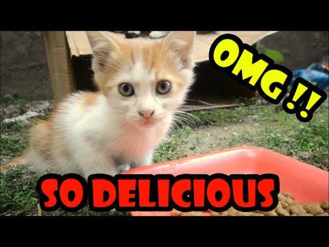 Baby Kittens Eating Cat Food  - (Cute Kittens- Kitten Videos )