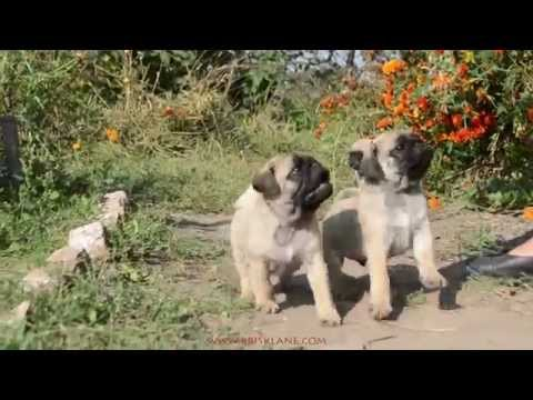 Pugs Playing: Pugs Are Awesome