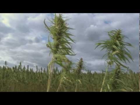 A field of cannabis in the wind
