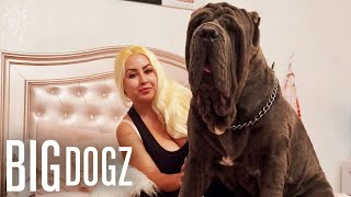 Ambush: The 180lbs Neapolitan Mastiff | BIG DOGZ