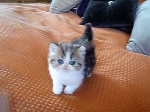Teacup Munchkin Cat For Sale