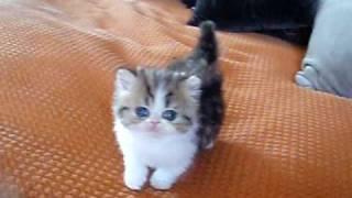 "Purrerze's ""Tea Cup"" Bi-Color Tabby Persian Kitten!"