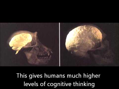the similarities and differences between chimpanzees and humans Humans vs primates (or humans as primates) to consider humans as primates it is useful to compare the similarities and differences between modern humans and.