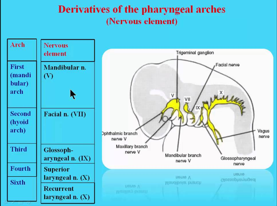 7 Derivatives of the pharyngeal arches nervous elemmt - YouTube