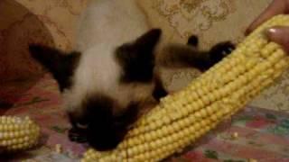 видео сиамские кошки обои