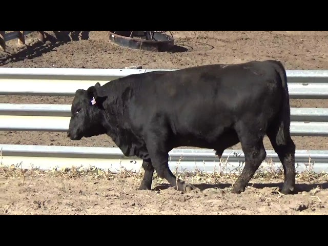 Connealy Angus Lot 122