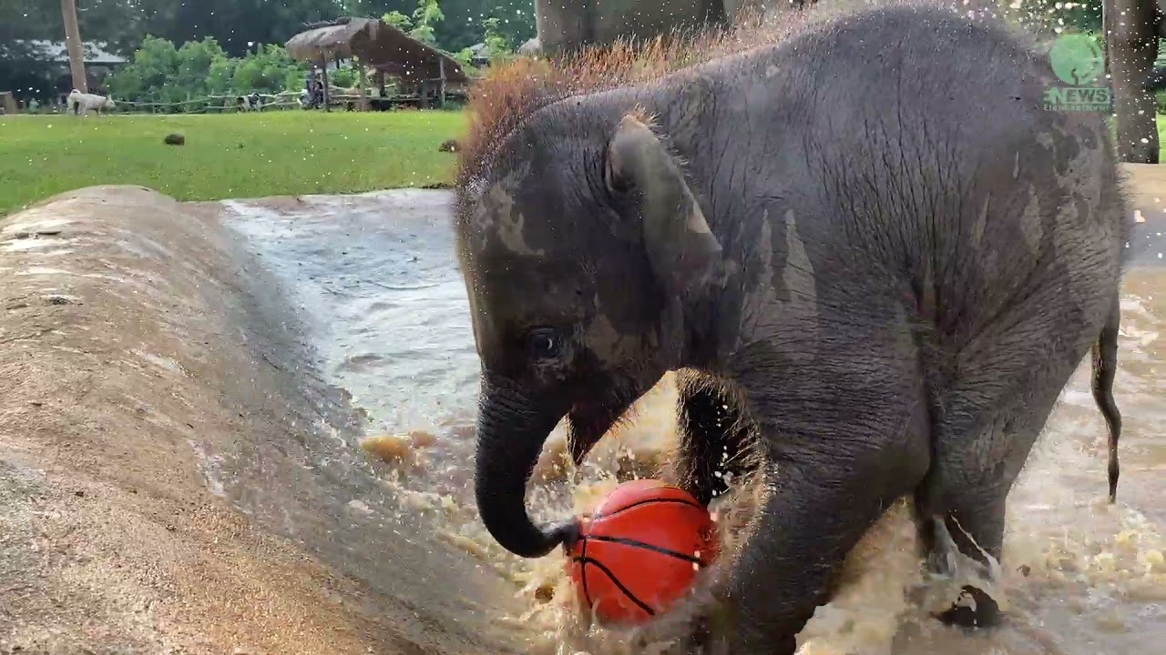 Download Playful Baby Elephant Chaba Get Much Stronger And Play - ElephantNews