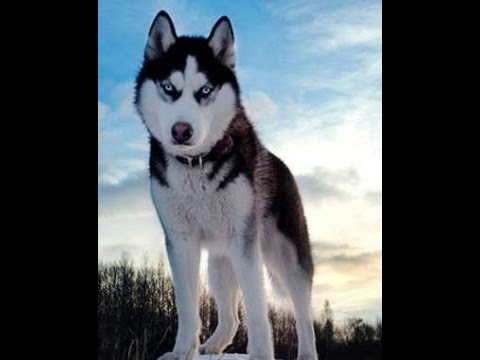 how to draw siberian husky step by step youtube