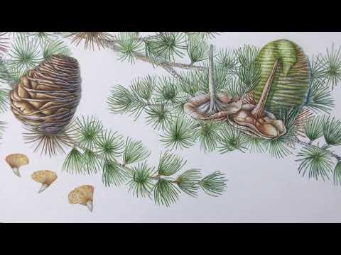 Cedrus libani or Cedar of Lebanon - full painting