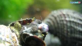 Schnecken im Aquarium, Teil 3 - Vermehrung