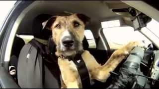 أول كلب في العالم يسوق سيارة