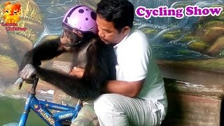 Chimpanzee cycling show