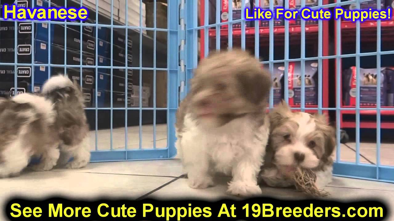Havanese, Puppies, For, Sale, In, Edmond, Oklahoma, OK, Cleveland,  Comanche, Canadian, Rogers, Payne