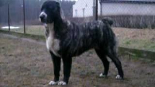 Central Asian Shepherd Dog Changa BAHARDEN (female, 16 month)