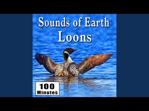 Haunting Loon Calls in Their Natural Habitat (Nature Ambience Sound Effects)