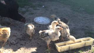 Цыплята 1месяц...mov(Цыплята Юрловские 1 месяц., 2012-05-21T07:45:45.000Z)
