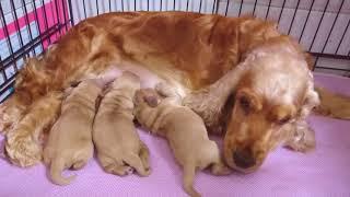 生後5日の子犬達はカーフィの母乳をしっかり飲んでいます。 【イングリ...
