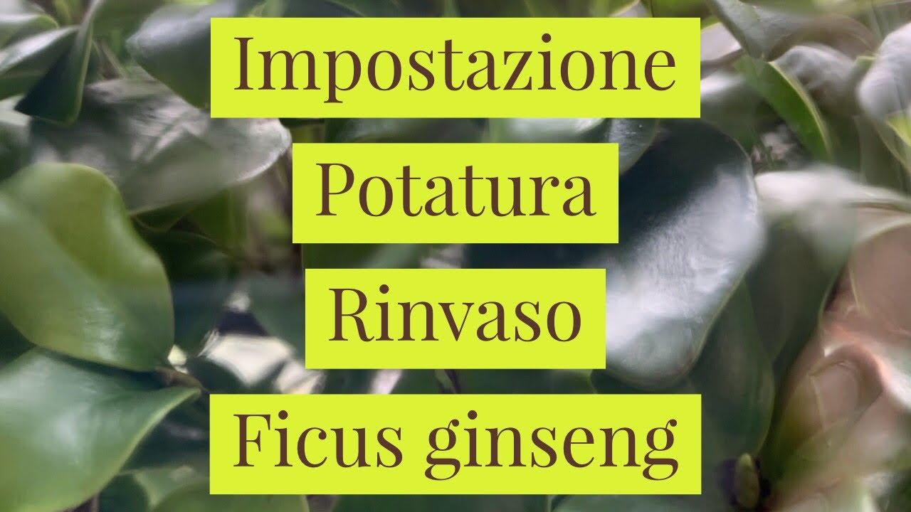 Potare Il Ficus Elastica impostazione, potatura e rinvaso di un ficus ginseng