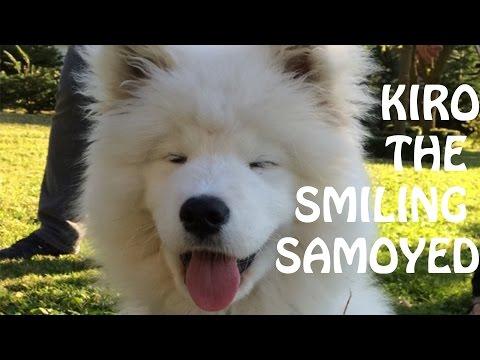 Kiro The Smiling Samoyed
