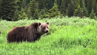 Bears in Banff National Park - Travel Alberta, Canada
