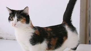 Манчкины-самые маленькие кошки.