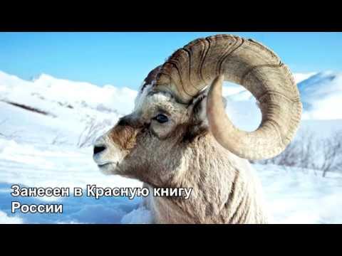 Якутский снежный баран. В зоне риска исчезновения. Занесен в Красную книгу России