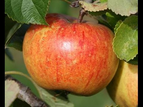 Thinning my rubinettte Apple