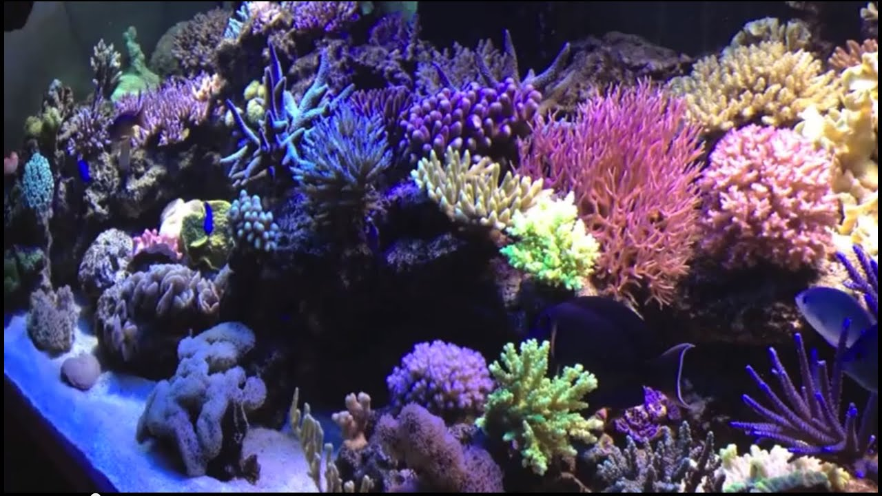 Aquarium recifal 1000litres a voir youtube for Aquarium eau de mer