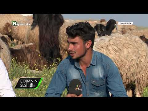 Çobanın Sesi - İvesi Irkı Koyun Yetiştiriciliği / Şanlıurfa