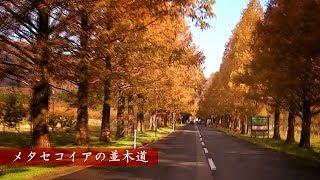 【車載】滋賀県高島市 マキノ高原 メタセコイア並木への行き方と紅葉の見頃【2017最新11月27日】
