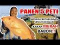 - MANCING KAKAP MERAH BABON!!