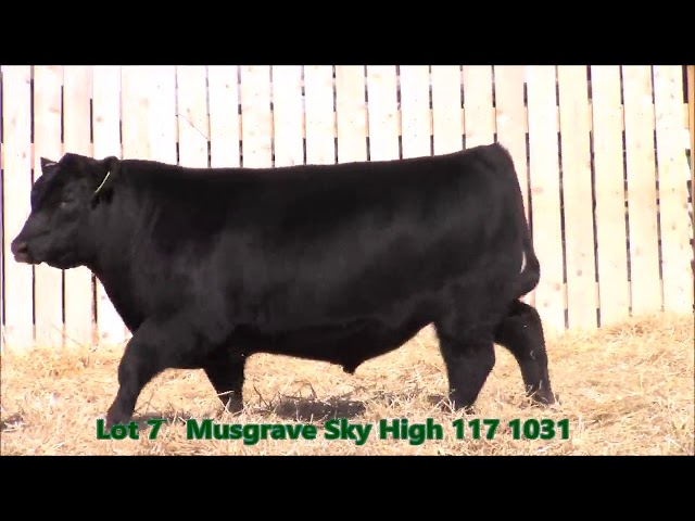 Musgrave Angus Lot 7