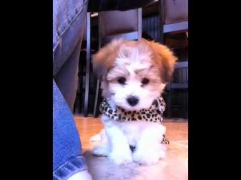 My Teddy Bear Puppy