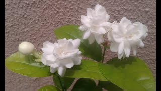Growing Jasminum sambac - Mogra -  Arabian Jasmine..