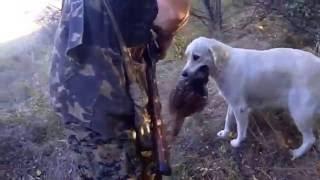 охотничьи собаки ваш выбор