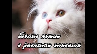 Белые кошки с глазами разного цвета. White cats and different eyes