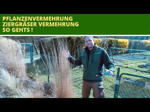 ziergräser-vermehren-vermehrung-von-ziergräsern