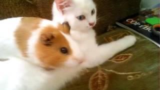 Морская свинка и Кошка