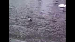 Фильм про уток