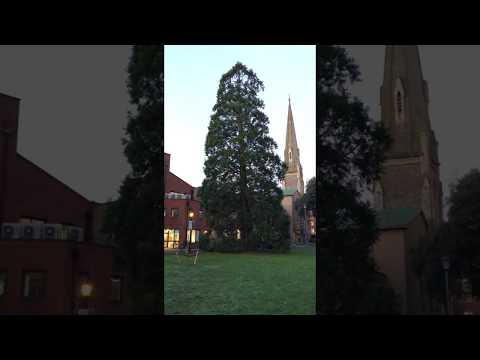 Giant redwood (Sequoiadendron giganteum) - tree - December 2017