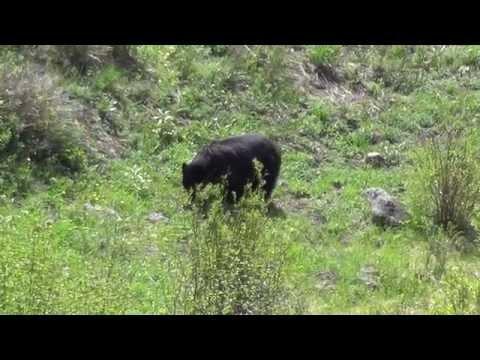 Czarny niedzwiedz/ black bear (Yellowstone National Park)